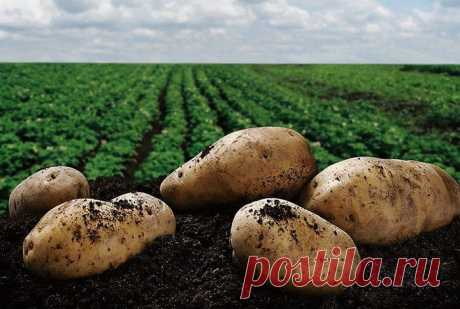 Подготовка земли под картофель c осени: пять слагаемых картофельного успеха в новом сезоне.