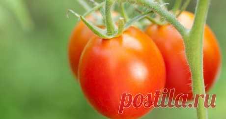 Ранние томаты: как получить урожай в июне Ранний урожай помидоров зависит от многих условий, в частности – от соблюдения всех правил выращивания. Важно выбрать подходящие сорта, рассчитать время посева и грамотно ухаживать за растениями.
