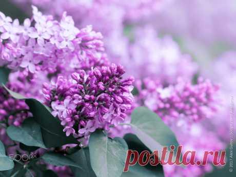 lilac / 500px