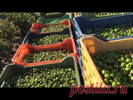 Оливковое масло из зеленых оливок - АГУРЕЛИО
