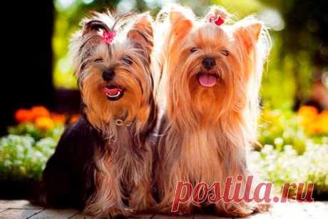 Йоркширский терьер: всё, что нужно знать об этой породе собак от А до Я