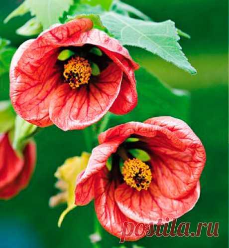 """Комнатное растение Абутилон (Abutilon). Это обильно ветвящийся вечнозеленый кустарник называют """"комнатным кленом"""". На ярком свету и под люминесцентными лампами в комнате он быстро разрастается и непрерывно цветет с ранней весны до осени. Абутилон прекрасно подходит для озеленения помещений. Его нередко выращивают как ампельное растение. Обильное цветение стимулирует весенняя обрезка всех длинных побегов на половину их длинны. Цветки многочисленные, красные или желтые."""