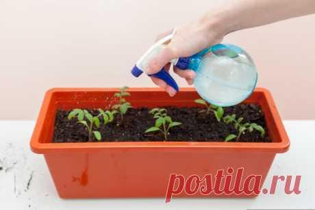 5 ошибок при выращивании рассады, которые приводят к ее перерастанию - Садоводка
