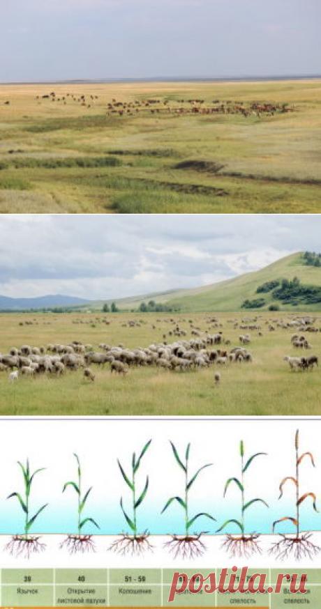 Астрагалы – их роль в обогащении аридных пастбищ для овец - БиоКорова