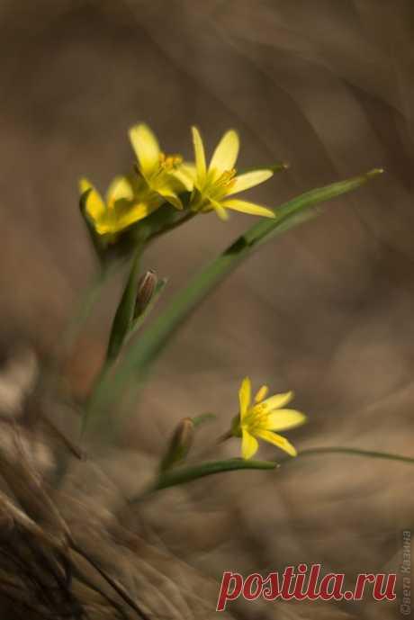 Первые весенние цветы Алтая. Гусиный лук. Автор фото – Светлана Казина: nat-geo.ru/photo/user/30896/