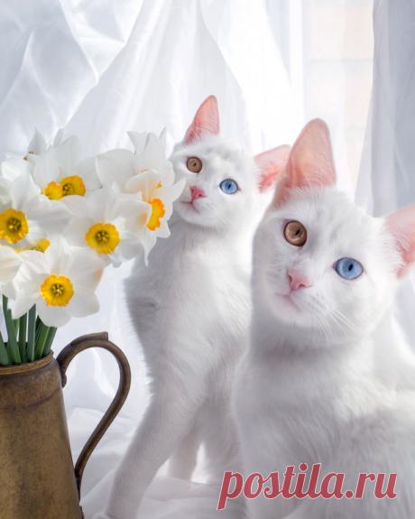 Белые кошки с разными по цвету глазами | Калейдоскоп новостей | Яндекс Дзен