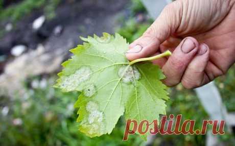 Как обрабатывать виноград пищевой содой