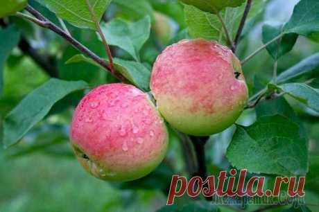 Нужно знать почему яблоня сбрасывает яблоки, чтобы понять что делать