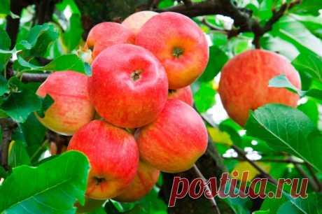 Как омолодить старую яблоню — Садоводка