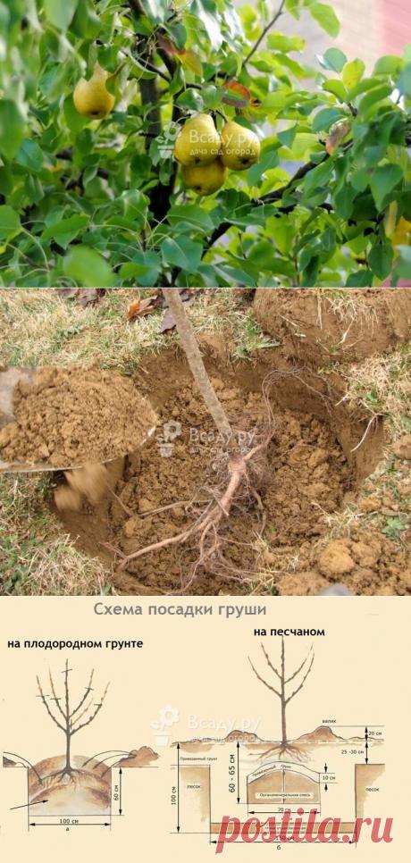 Посадка груши: выбор саженца, подготовка ямы