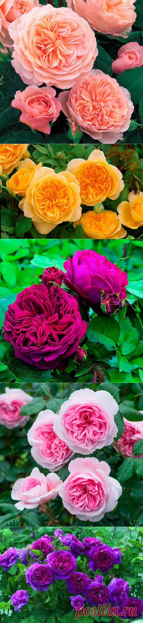 Достоинства английских роз 1. Наличие сильного аромата; 2. Высокая зимостойкость растения в российских условиях; 3. Формирование цветков по всему стеблю; 4. Необычная форма цветка, которая отличается от других видов роз.