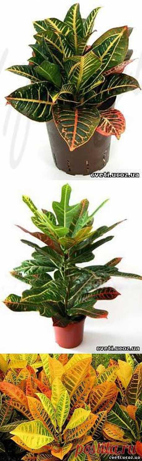 Кротон или кодеум (Croton). Уход за кротоном - Кротон - Комнатные цветы и растения - Каталог статей - Цветы и растения