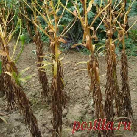 Как пересадить и размножить лилию в саду – пошаговый мастер-класс с фото - Цветочки - медиаплатформа МирТесен
