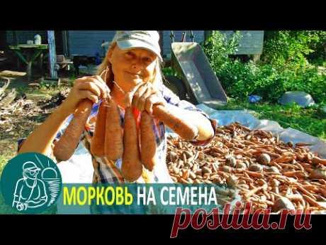 🌿 Посадка моркови на семена по технологии Гордеевых