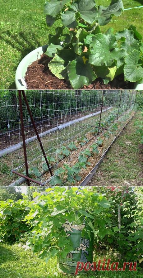 4 способа выращивания огурцов на маленьком участке | На грядке (Огород.ru)