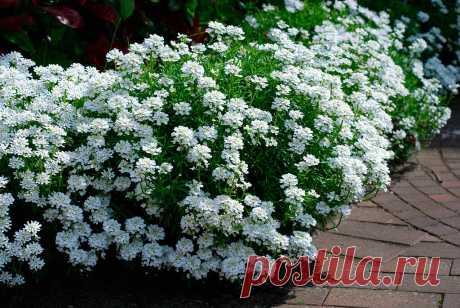 Самое ароматное бордюрное растение | ЗЕЛЕНЫЙ МИР С ЕЛЕНОЙ | Яндекс Дзен