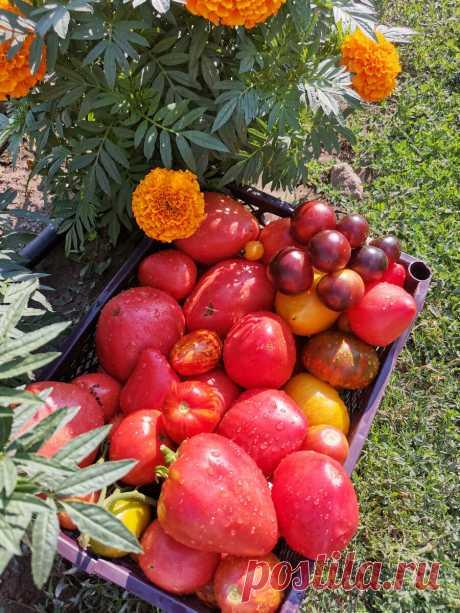 Когда нужно вершковать томаты. Ускоряем налив и созревание плодов.