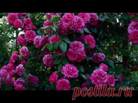 Лучшие розы для начинающих розоводов