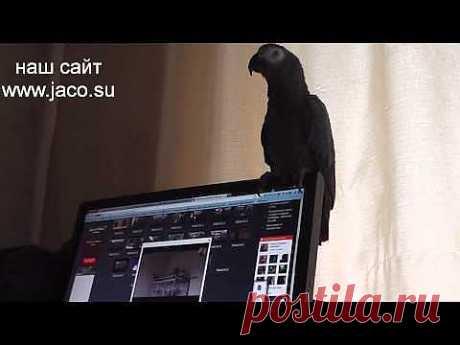 ▶ Попугай Гриша смотрит на себя - 2013 (28) - YouTube