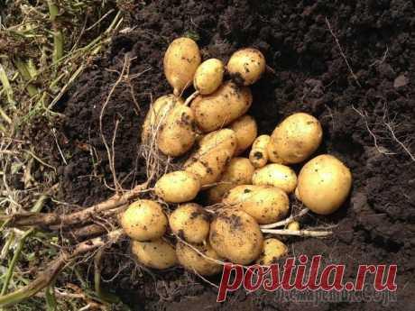 3 лучших сидерата под картофель осенью Многие дачники из-за ограниченной площади участка вынуждены размещать картофельное поле каждый год на одном и том же месте. Это приводит к сильному истощению почвы и накоплению в ней возбудителей боле...