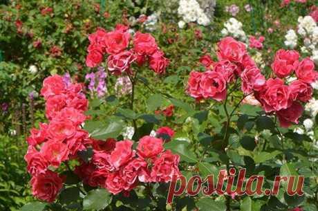 Рецепт опрыскивания для роз - защищает от всех болезней | Урожайный огород | Яндекс Дзен