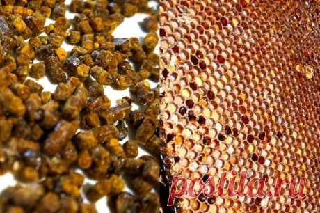 Полезные свойства пчелиной перги   Pentad