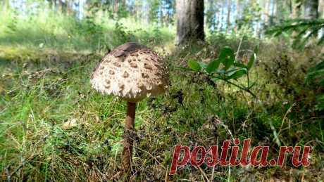 7 недооценённых грибов, которых в России полно, их не собирают, а зря | Природа Северо-Запада | Яндекс Дзен