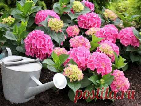 Как посадить гортензию: подбор места, грунта и наглядная инструкция
