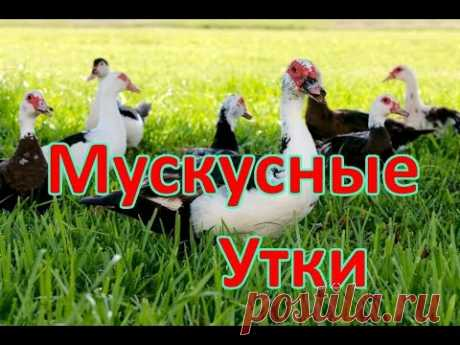 TECHNOLOGY OF CULTIVATION OF MUSKY DUCKS