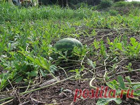 Выращивание арбузов - выращивание рассады арбузов, главные причины плохих урожаев |