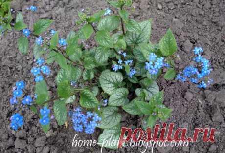 Незабудки: как выращивать голубые цветы