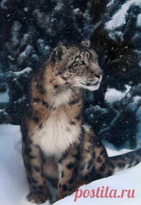 Великолепный снежный барс в объективе Олега Богданова: nat-geo.ru/community/user/163720