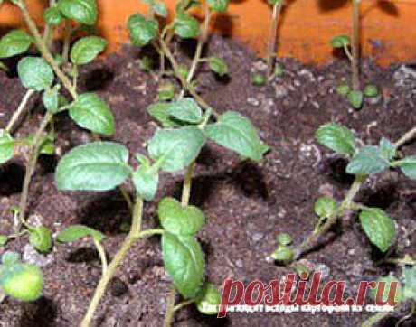 Выращивание картофеля из семян   Дача - впрок