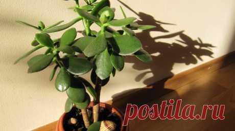 Что ни в коем случае нельзя делать с Тостянкой. Погубите шикарное растение — По секрету всему свету