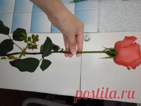 Супер-средство Тройчатка для проращивания роз. — Садоводка