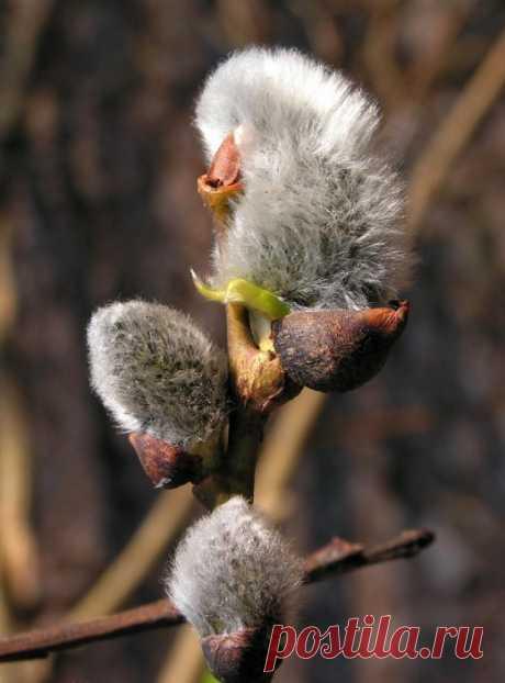 Предвестник весны — цветущая верба. Приметы, суеверия, поверья.  Вербой в народе называют несколько видов растений рода Ива. Например: Иву козью, Иву волчниковую, Иву остролистную и тд. Всего же семейство ивовых в нашей стране насчитывает более 120 видов – чернотал, белотал, ветла, шелюга, ракита, молокита, плакучая ива, козья ива…