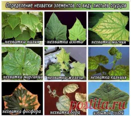 Симптомы нехватки микроэлементов у огурцов Симптомы нехватки каждого из необходимых питательных веществ у огурцов проявляются очень четко и весьма определенно.  Магний При недостатке магния листья огурца становятся хрупкими и на вид кажутся обожженными. Они приобретают более светлую окраску (бледно-зеленую, желтоватую), интенсивно-зелеными остаются только прожилки.  Азот  При недостатке азота стебли становятся тонкими, обретают твердость и волокнистость. Нижние листья поникают и желтеют