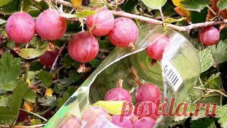 Простое копеечное самодельное приспособление для сбора ягод