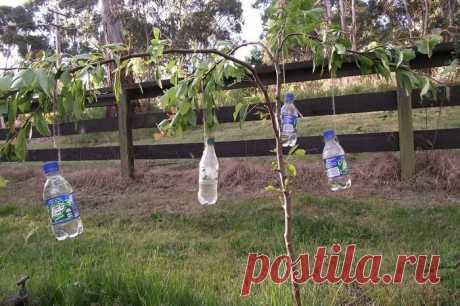 Чтобы увеличить урожай, вешаем бутылки с водой на плодовые деревья