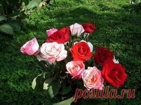 Для защиты роз от от ржавчины, пятнистости и мучнистой росы хорошо помогает следующее средство