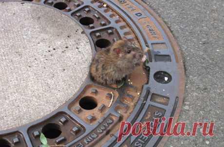 Немецкие пожарные спасли застрявшую в крышке канализационного люка крысу - Телеканал «Моя Планета»