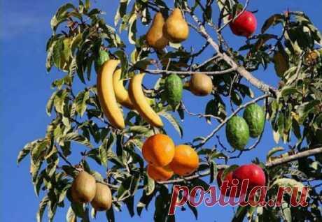 Это необычное дерево плодоносит сорока видами косточковых фруктов! — Лепрекон