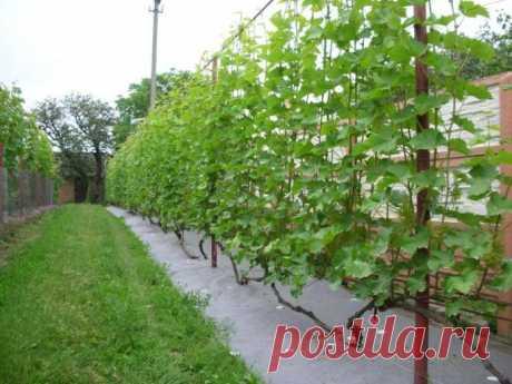 Как посадить виноград и ухаживать за лозой весной, летом и осенью, а также проводить подкормку