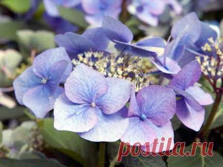 La flor la hortensia – la partida en las condiciones de casa: la reproducción y el transbordo de la hortensia de la casa; la hortensia de casa – el pedazo, el vidriado y el abono