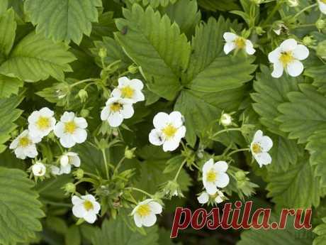 Que sobrealimentar en primavera la fresa   6 sotok
