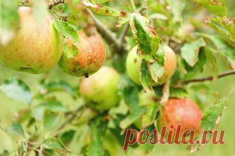 Чтобы избавиться от Вредителей и укрепить Яблони, я обрабатываю сад осенью следующим образом | Лайфхаки и полезные советы | Яндекс Дзен