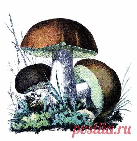 mushroomsbrwnvintageimage-graphicsfairy.jpg (1524×1566)