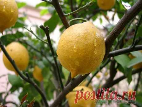 Обрезка лимона: особенности формирования кроны