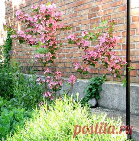 Вейгела — один з найкращих квітучих кущів весни. Опис, фото - ЗЕЛЕНА САДИБА