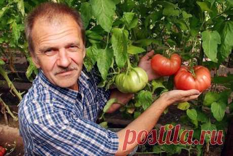 ХОТИТЕ ПОЛУЧАТЬ ПО 2 ВЕДРА ТОМАТОВ С КУСТА?  МОИ СЕКРЕТЫ: Люблю высокорослые сорта томатов.  Я сажаю по 2 растения, выравнивая верхушки, соединив стебли вместе. Они друг друга поддерживают. Сажаю в траншейки, что бы полив достиг не на 3 см, а пролить глубиной 30 - 35 см. Тогда корневая система будет формироваться на такой глубине, и не будет подвержена весенним похолоданиям и летней жаре. в верхнем слое почвы. Ведь болезни томатов, в основном, провоцируются резкими перепад...